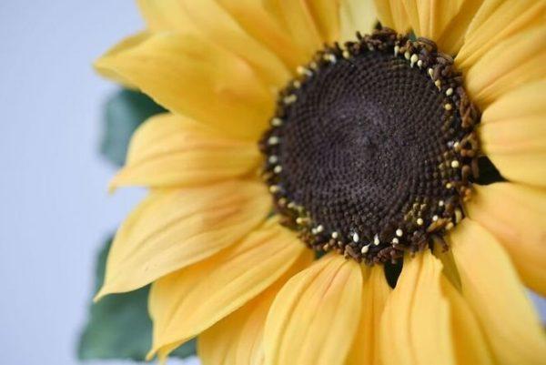Suzanne Esper Sunflower 1