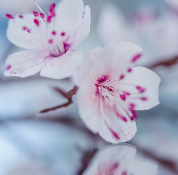 Suzanne Esper Cherry Blossom 1